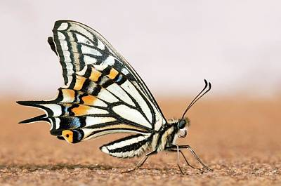 Asian Swallowtail Butterfly Poster