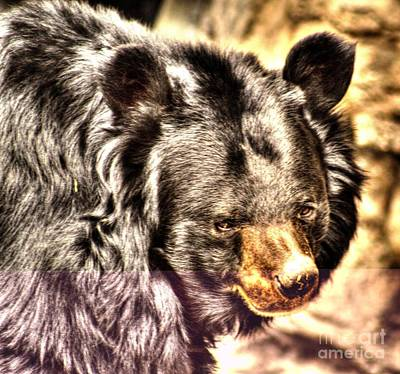 Asiatic Black Bear Poster