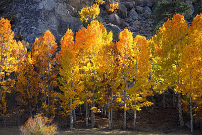 Poster featuring the photograph Aspen Gold by Lynn Bauer