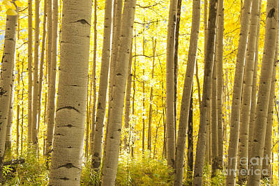 Aspen Grove In Autumn Poster by Juli Scalzi