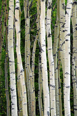 Aspen Tree Trunks, Healy, Alaska, Usa Poster by Michel Hersen
