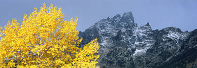 Aspen Tree With Mountains Poster