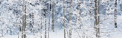 Aspen Trees Covered With Snow, Taos Poster by Panoramic Images