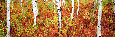 Aspen Trees In A Forest, Shadow Poster by Panoramic Images