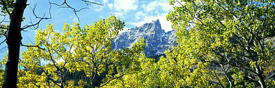 Aspen Trees In A Forest With Mountains Poster by Panoramic Images