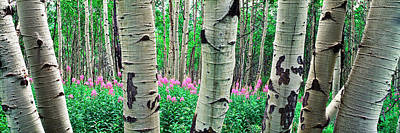 Aspen Trees In A Grove On The Slope Poster by Panoramic Images