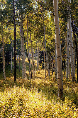 Aspen Trees In Edwards, Colorado Poster by Ben Horton