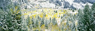 Aspen Trees On Mountain Poster