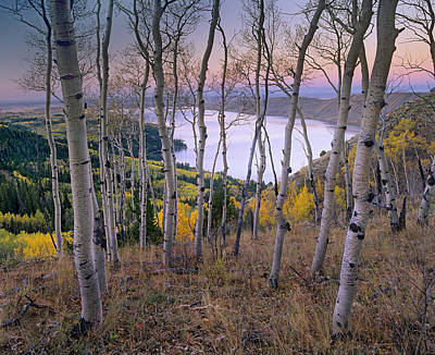 Aspens At Fremont Lake Bridger-teton Poster by Tim Fitzharris