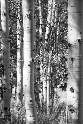 Aspens In B And W Poster