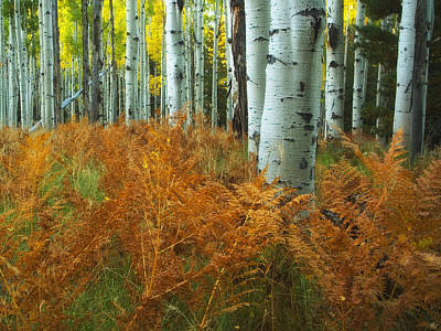 Aspens In The Ferns Poster