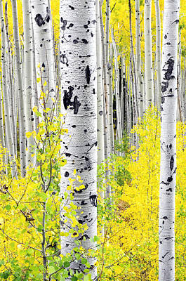 Aspens   Poster by The Forests Edge Photography - Diane Sandoval