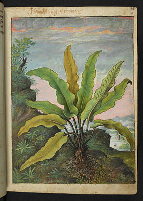 Asplenium Scolopendrium Poster by British Library