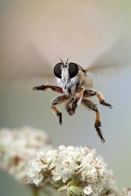 Assassin Fly Leaving Buckwheat Blossoms Poster by Robert Jensen