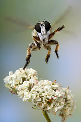 Assassin Fly Leaving Buckwheat  Poster by Robert Jensen