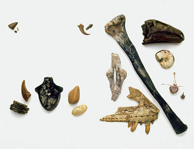 Assorted Fossilised Bones And Shells Poster by Dorling Kindersley/uig