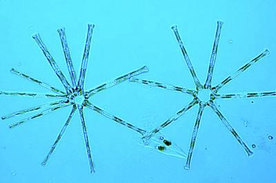 Asterionella Diatoms Poster