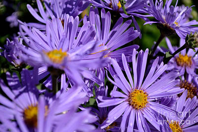Poster featuring the photograph Asters After The Rain by Scott Lyons