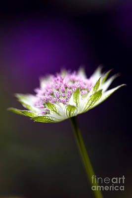 Astrantia Buckland Flower Poster by Tim Gainey