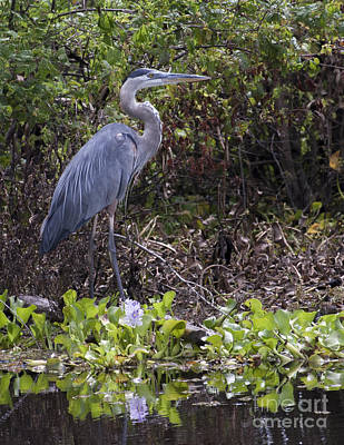 Atchafalaya Swamp Blue Heron Poster by D Wallace