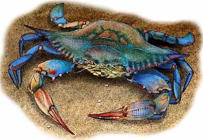 Atlantic Blue Crab Poster