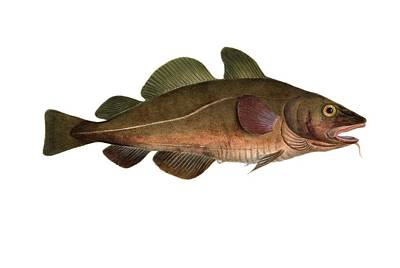 Atlantic Cod, 19th Century Artwork Poster by Science Photo Library