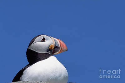 Atlantic Puffin In Breeding Colors Poster by Yva Momatiuk and John Eastcott