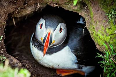 Atlantic Puffin Poster by Paul Williams