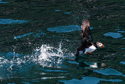 Atlantic Puffin Taking Off Poster by Perla Copernik