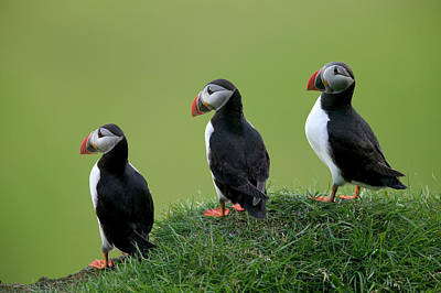 Atlantic Puffin Trio On Cliff Poster by Cyril Ruoso