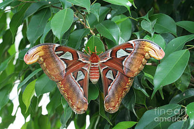 Poster featuring the photograph Atlas Moth #2 by Judy Whitton