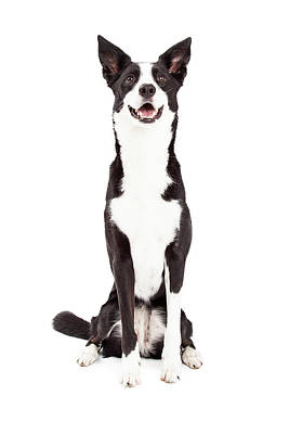 Attentive Border Collie Mix Breed Dog Sitting Poster by Susan Schmitz