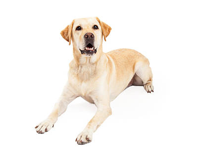 Attentive Labrador Retriever Dog Laying Poster