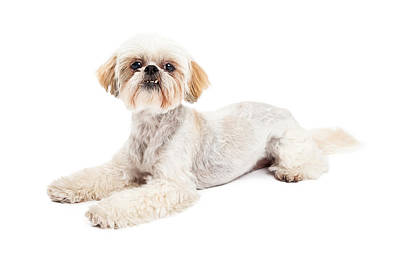 Attentive Maltese And Poodle Mix Dog Laying Poster