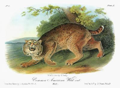 Audubon Bobcat Poster
