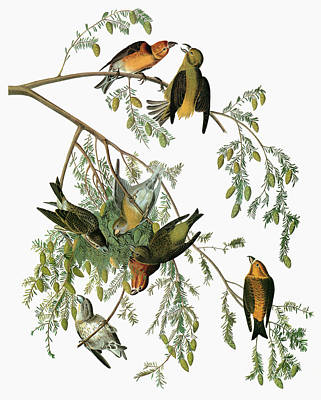 Audubon Crossbill Poster
