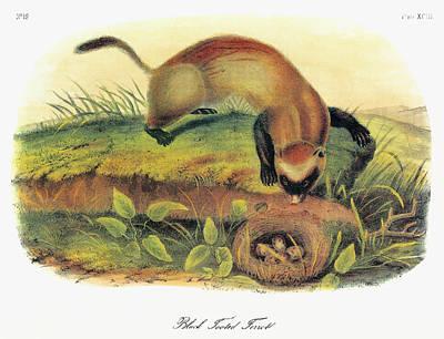 Audubon Ferret Poster by Granger