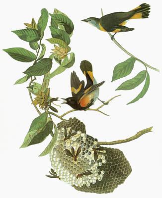 Audubon Redstart Poster