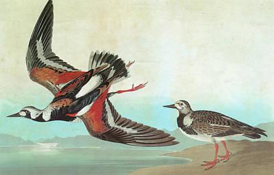 Audubon Turnstone Poster by Granger