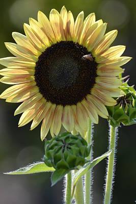 August Sunflower Poster