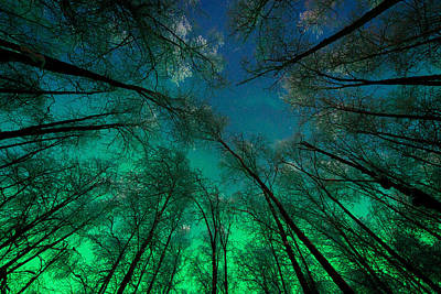 Aurora Glow Through The Birches Poster by Roger Clifford