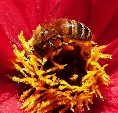 Australian Bee Enjoying Dahlia Pollen Poster