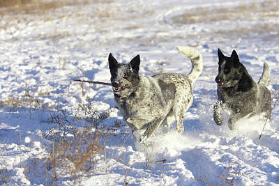 Australian Cattle Dog Playing Poster