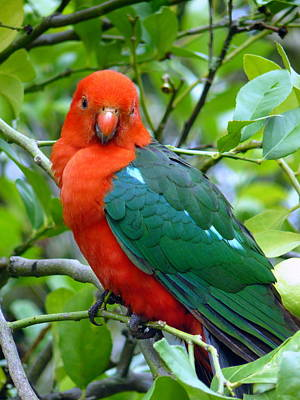 Poster featuring the photograph Australian King Parrot Portrait by Margaret Stockdale