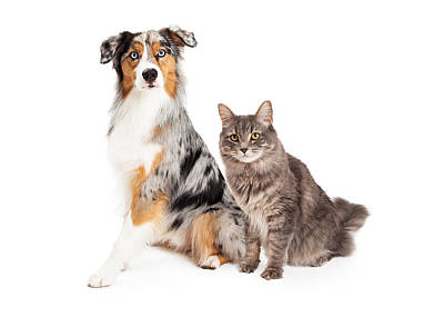Australian Shepherd Dog And Tabby Cat Poster by Susan Schmitz