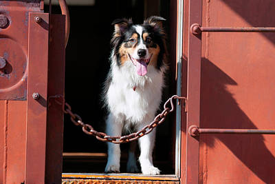 Australian Shepherd In A Train Car (mr Poster by Zandria Muench Beraldo