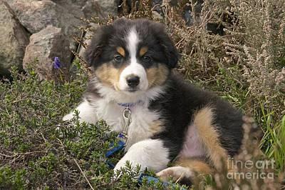 Australian Shepherd Puppy Poster