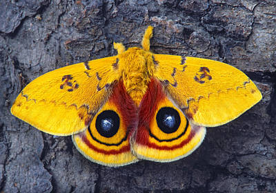 Automeris Io Silk Moth Poster by Robert Jensen