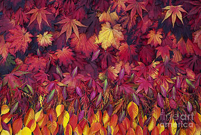 Autumn Acer Leaves Pattern Poster