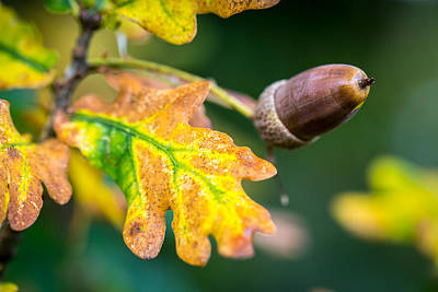 Poster featuring the photograph Autumn Acorn. by Gary Gillette